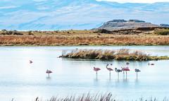 Descanso parado (julien.ginefri) Tags: argentina argentine patagonia patagonie america latinamerica southamerica austral flamenco flamingo bird laguna nimez phoenicopteruschilensis flamant rose rosa pink elcalafate