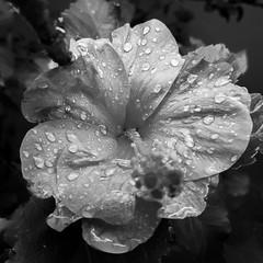 Hibiscus (empsistemas) Tags: flor flower hibiscus pb natureza nature