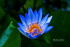 And in an enchanting blue she was glowing... (BlueLunarRose) Tags: lily waterlily flower bloom blue green yellow macro glow raindrops dewdrops water petals nature garden sonyalphadslra200 sal1855 bluelunarrose ngc