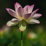 Perfect Lotus thumbnail