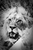 PB091756 (Kaba264) Tags: namibia awsome summer olympus mft mzuiko holiday lion bw