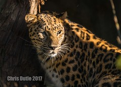 DSC07115 (montusurf) Tags: amur leopard san diego zoo california shadow cat feline predator zoosofnorthamerica