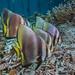 Yenbuba jetty Batfish