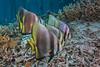 Yenbuba jetty Batfish (merbert2012) Tags: westpapua indonesia papuaparadiseecoresort diving underwater underwaterphotography nature nationalpark wildlife scuba fish ocean nikond800 aquaticahousing travel fun animal rock