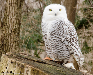 Snowy Owl - Natural Light
