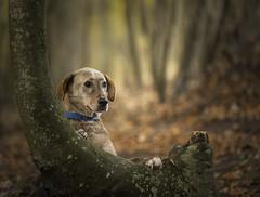 Mario (Paul`s dog photography) Tags: mariodogportraitrescue canon5dmkiv ef135mmf2lusm woodsbear