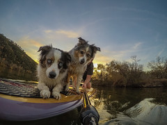 What are you looking at? (Joe Snowman) Tags: atx austin bff coloradoriver gopro goprohero5 lakeaustin lexi miniaussie sup sassey texas texashillcountry betteroutside dogs fall fallcolors jobe jobemoments jobesup optoutside standuppaddleboard trueaustin