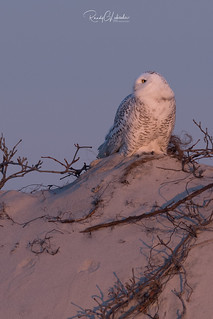 Snowy Owls of New Jersey | 2017 - 9 [EXPLORED]