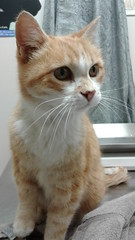 Ginger - 10 year old neutered male