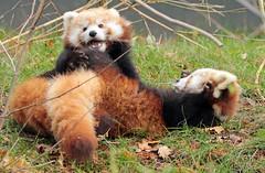 red panda Blijdorp BB2A5988 (j.a.kok) Tags: panda redpanda rodepanda kleinepanda animal blijdorp china asia azie mammal zoogdier dier blijdorpzoo