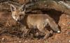 EUROPEAN RED FOX. (VULPES VULPES)-7838 (rawshorty) Tags: rawshorty animals canberra australia act campbell