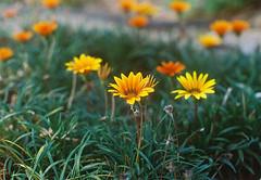 Flowers of the Sun. (Hijo de la Tierra.) Tags: film analog 35mm flowers nature garden warm grain