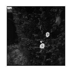 park • harcourt, normandy • 2017 (lem's) Tags: flowers garden park jardin parc caste chateau fleurs haie harcourt normandie normandy zenza bronica