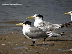 DSC00729 Greater Crested Tern (Thalasseus bergii) (vlupadya) Tags: greatnature bird animal aves fauna indianbirds greater crested tern thalasseus kundapura karnataka