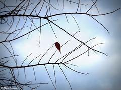 Survivante (bleumarie) Tags: décembre2017 mariebousquet photomariebousquet aquitaine bleumarie bordeaux france gironde sudouest feuille branche dernièrefeuille survivre survivante bleu automne hiver