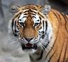 The eye of the tiger (babsbaron) Tags: nature tiere animals katzen grosskatzen raubkatzen cats bigcats raubtiere predators tiger sibirischertiger siberiantiger amurtiger ussuritiger tierpark berlin