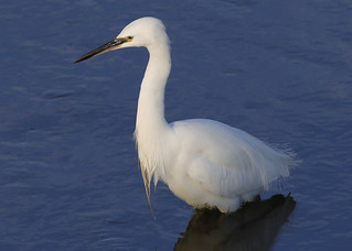 LITTLE EGRET ....Kidwelly.