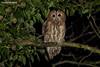 Tawny Owl, Strix aluco (Midlands Reptiles & British Wildlife Diaries) Tags: tawnyowl strixaluco peak district national park david nixon fauna forest ecology staffordshire hunting owls canon 100400 7dmkii ornithology wildlife british native