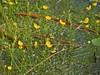 plant Utricularia Patsy Pond Trl Croatan NF ncwetlands KG (43) (ncwetlands.org) Tags: croatan sinkhole pond coastalfederation northcarolina ncwetland ncwetlands northcarolinawetland northcarolinawetlands