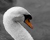 De profile (Irina1010_out for sometime) Tags: swan portrait bird white droplets beautiful berry canon