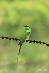 green bee eater (DineshMunuswamy) Tags: canon canon1300d chennaiphotography greenbeeeater