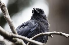 Seattle_Crow_532 (Zero State Reflex) Tags: seattle crow corvid wildlife wildlifephotography birds pnw washington black photography canon 5dmark3