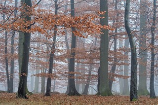 *Late autumn in the beech forest*