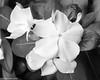 White On Black (that_damn_duck) Tags: blackwhite nature petals leaves blossom blooming monochrome bw blackandwhite