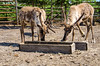 Two elks eating (Polina K Petrenko) Tags: elk animal wild wildlife mammal rut bull park nature deer antler national outdoor horn forest hunting male natural hunt north big stag wilderness bugle buck meadow canada grand ungulate grass adult west