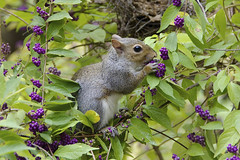 ♪ Sometimes you feel like a nut, sometimes you don't ♪♪ (ucumari photography) Tags: ucumariphotography squirrel gray animal mammal wildlife nc north carolina novmber 2017 purple berries dsc0231 specanimal callicarpiaamericana beautyberry