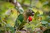 Tiriba-de-testa-vermelha - Maroon-bellied Parakeet (Pyrrhura frontalis) (Eden Fontes) Tags: maroonbelliedparakeet aves birds riodejaneiro jardimbotânico rj tiribadetestavermelha pyrrhurafrontalis jbrj