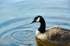 Canadian Goose (Ennev) Tags: canada nature pentax lake water canadian goose pentaxk3ii 2017 estérel québec ca