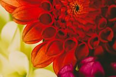 Plenty of Colors (Herr Nergal) Tags: 7dwf flora sony hx400v dsc bridge raynox150 macro makro close up red yellow pink gelb rot rosa dahlie flower blossom blüte blume saarland deutschland kelch cup