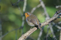 DSC01093 (simonbalk523) Tags: robin warnham nature reserve horsham sussex photography sony tamron wildlife birdlife birdwatching