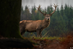 The real King (arnozpictures) Tags: deer nature