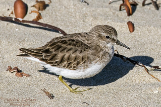 Least Sandpiper at the strand