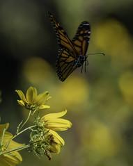 MonarchButterfly_SAF2110 (sara97) Tags: danaus plexippus butterfly copyright©2017saraannefinke endangered insect missouri monarch monarchbutterfly photobysaraannefinke pollinator saintlouis flight inflight flying danausplexippus