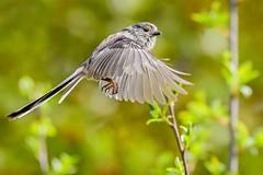 Long Tailed Tit. (Jez Nunn) Tags: longtailtitflyingbirdnaturewildlifeinflight