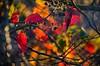 November kaleidoscope (sandrasternenlicht) Tags: autumnleaves autumncolours red yellow bokeh chaotic sunlight herbstfarben november shining leuchtend