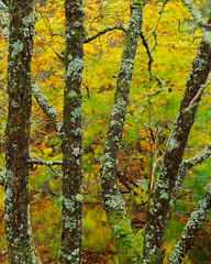 Beeches and Lichens, Glencoe º (CactusD) Tags: glencoe scotland autumn colour autumncolour trees alder beech lichens woodland greatbritain great britain texture uk unitedkingdom gb landscape intimatelandscape detail film 5x4 4x5 details fuji fujichrome velvia velvia50 largeformat large format digitized linhof technikardan tks45 s45 nikkorm300mmf9 300mm f9 drumscanned