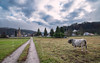 Rural (Marc Andreu) Tags: vache animal nature prairie eglise village oust mane light lumiére outdoor extérieur country cow horn corne bovin paysage champ meadow arbre tree troupeau herd agriculture grass herbe rural campagne countryside ciel nuages field boeuf beef