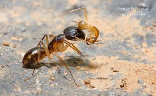 Ants (Camponotus sp.)