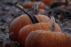 Three (KING KRUSH) Tags: outdoors orange forgotten farm field pennsylvania pa usa canon decay outside rotting pumpkins morning