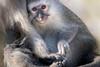 Holding Hands With Mom (helenehoffman) Tags: africa mother africarocks mom primate mammal baby sandiegozoo child chlorocebuspygerythrus oldworldmonkey monkey vervetmonkey animal