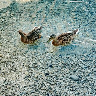 Mallard Ducks in clear water