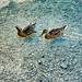 Mallard Ducks in clear water