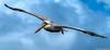 The Flight of the Pelican (Robert Streithorst) Tags: bird inflight pelican oasis seas robert streithorst