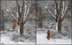 Super Jump!!! (Xena*best friend*) Tags: britney britneyspears snow catsinthesnow catsinthewhitestuff catsplayinginthewhitestuff catsjumpinginthesnow winterwonderland winter cold cats whiskers feline katzen gatto gato chats furry fur pussycat feral tiger pets kittens kitty piedmontitaly piemonte canoneos760d italy wood woods wildanimals wild paws animals calico markings ©allrightsreserved purr digitalrebelt6s efs18135mm flickr outdoor animal pet