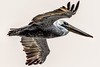 Pelican (Bernd Thaller) Tags: oceanshores washington usa us pelican bird animal graphic whitebackground highcontrast