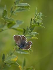 Sans dessus dessous * (Titole) Tags: papillon butterfly titole nicolefaton brown upsidedown green argus